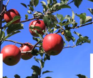 sun-apple